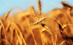 Yellow_Wheat_900