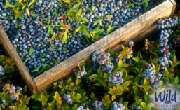 WildBlueberries_Crate_900