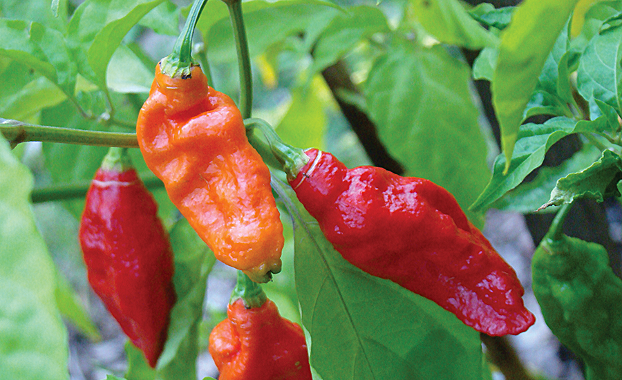 Recent studies indicate compounds in chili peppers could have the potential to boost  metabolism and increase fat burning