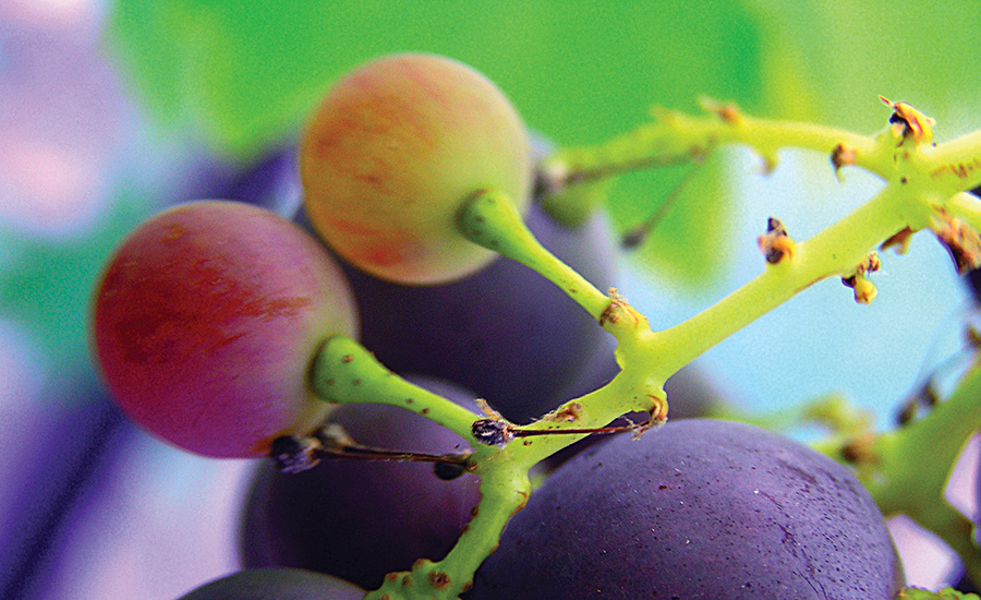 The compound resveratrol from the skin of red grapes shows strong brain health potential
