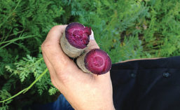 Naturally red and purple carrots have extended the root's use as a colorant source beyond traditional orange and yellow