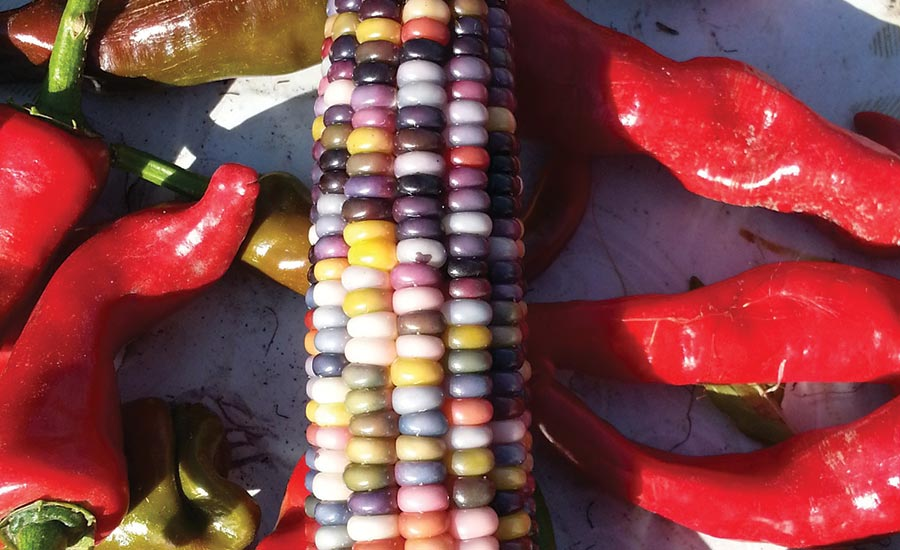 Colored Ear of Corn