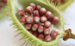 Open Pod of Annatto Plant