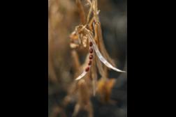 beans, bean plant
