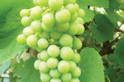 grapes, grape vine