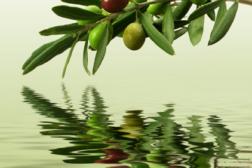 olive, olive branch